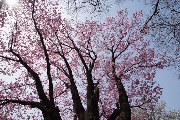 新宿御苑【桜:陽光】4
