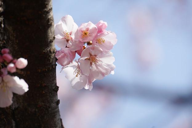 新宿御苑【桜:高遠小彼岸】6