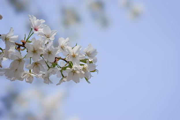 新宿御苑【桜:大島桜】2
