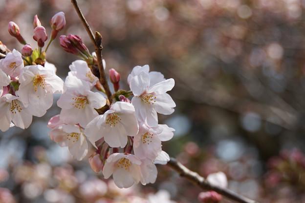 新宿御苑【桜:染井吉野】3