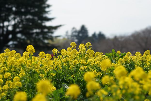 昭和記念公園【菜の花】2