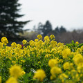 Photos: 昭和記念公園【菜の花】2