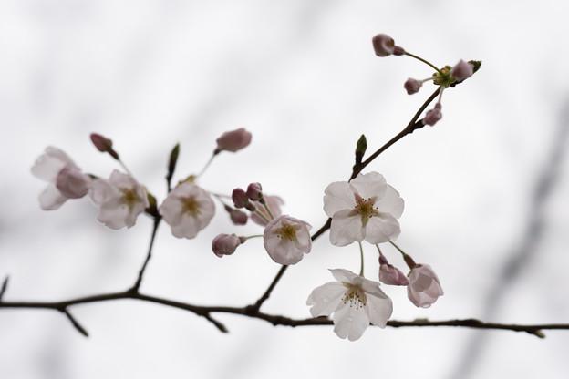 テリタビーズ公園【桜:染井吉野】1