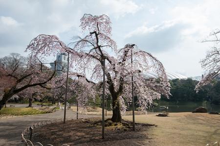 小石川後楽園【桜:馬場桜】1