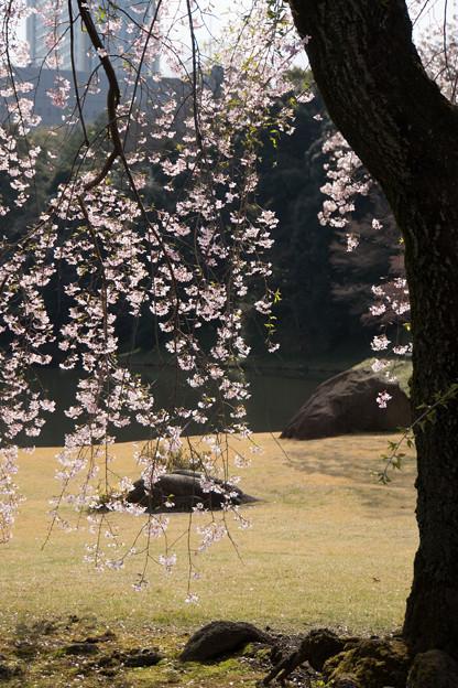 小石川後楽園【桜:馬場桜】3