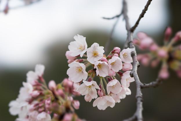 小石川後楽園【桜:染井吉野】4