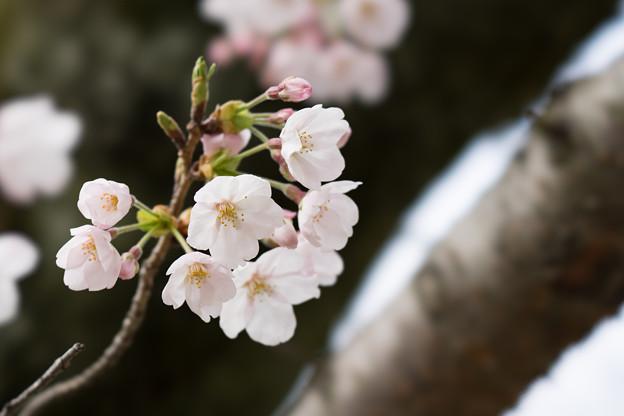 小石川後楽園【桜:染井吉野】5