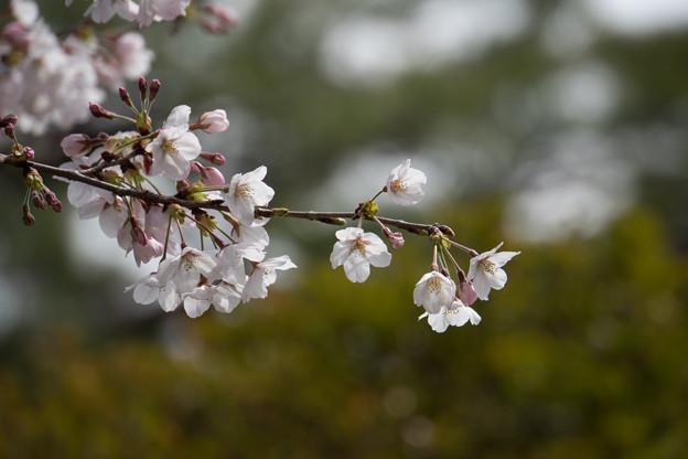 六義園【桜:染井吉野】1