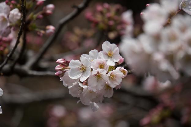 六義園【桜:染井吉野】2