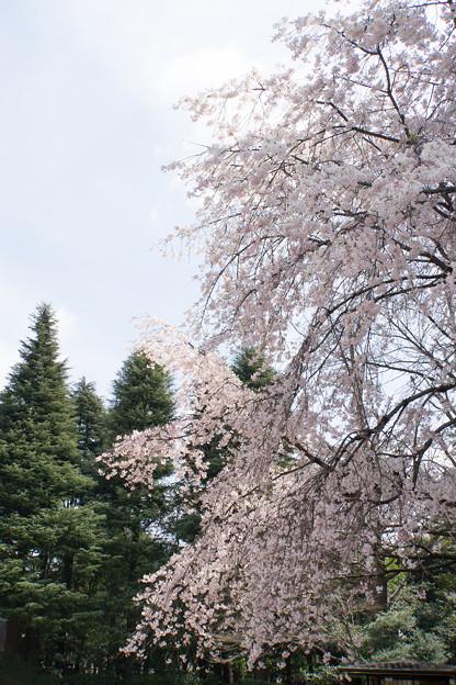 旧古河庭園【洋館と桜】2