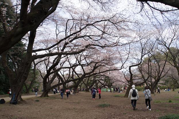 新宿御苑【桜林の様子】