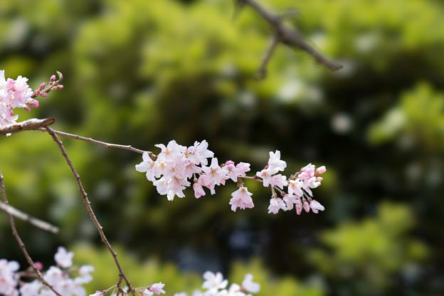 新宿御苑【江戸彼岸:STF】6