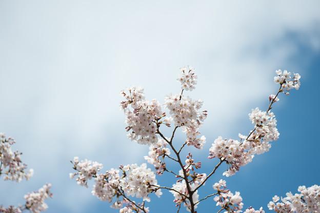 新宿御苑【桜:高遠小彼岸】5