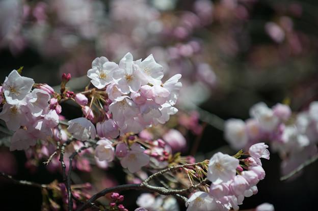 新宿御苑【桜:アメリカ】1