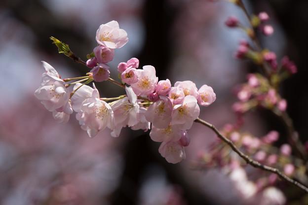 新宿御苑【桜:アメリカ】4