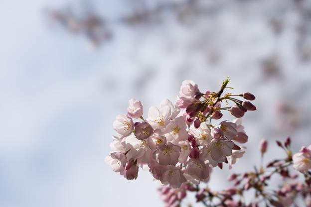 新宿御苑【桜:アメリカ】5