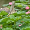 蓮池のゴイザギ (3)