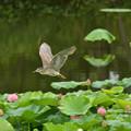 蓮池のゴイザギ (2)