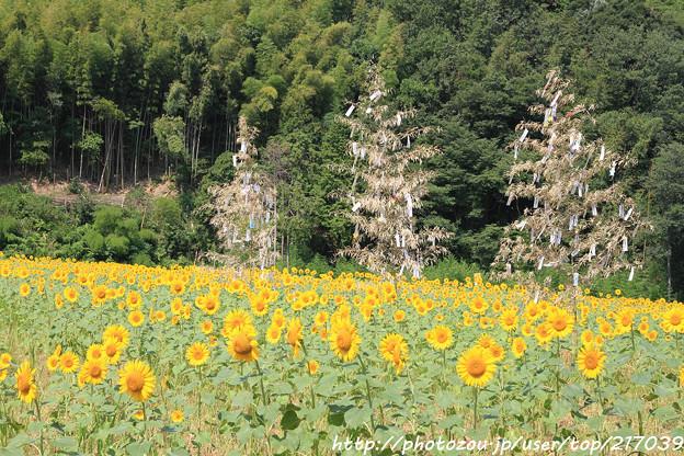 IMG_8463与謝野町ひまわりフェスティバル・向日葵と七夕飾り