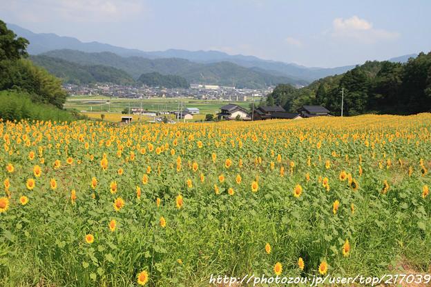 IMG_8469与謝野町ひまわりフェスティバル・向日葵