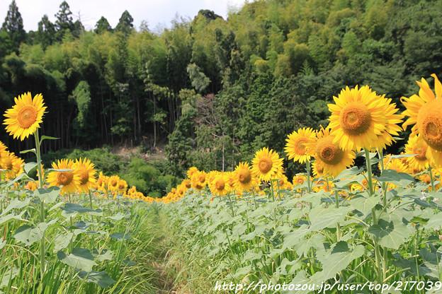 IMG_8489与謝野町ひまわりフェスティバル・向日葵