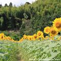 Photos: IMG_8489与謝野町ひまわりフェスティバル・向日葵