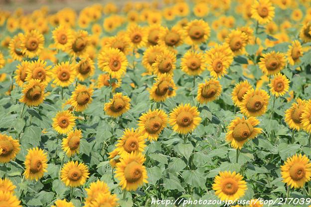 IMG_8511与謝野町ひまわりフェスティバル・向日葵
