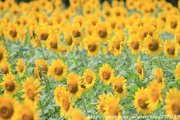IMG_8524与謝野町ひまわりフェスティバル・向日葵