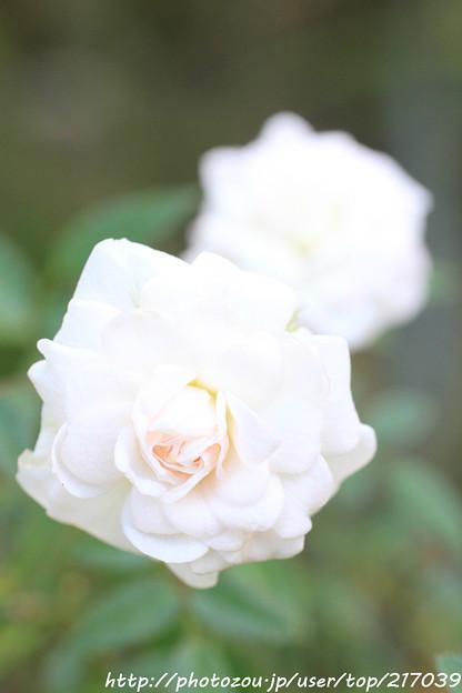 IMG_9421ばら庭園・シンデレラ