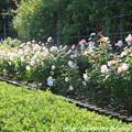 Photos: IMG_9599ばら庭園・薔薇