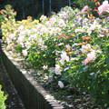 Photos: IMG_9601ばら庭園・薔薇