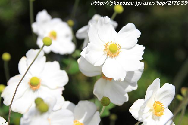 IMG_9638秋明菊