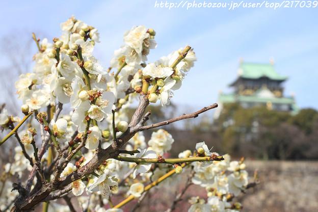 IMG_1924大阪城公園・梅林・月影(筋入り)と大阪城天守閣