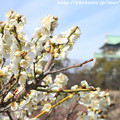 写真: IMG_1924大阪城公園・梅林・月影(筋入り)と大阪城天守閣