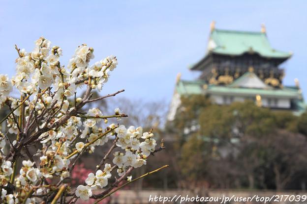 IMG_2042大阪城公園・梅林・梅と大阪城天守閣