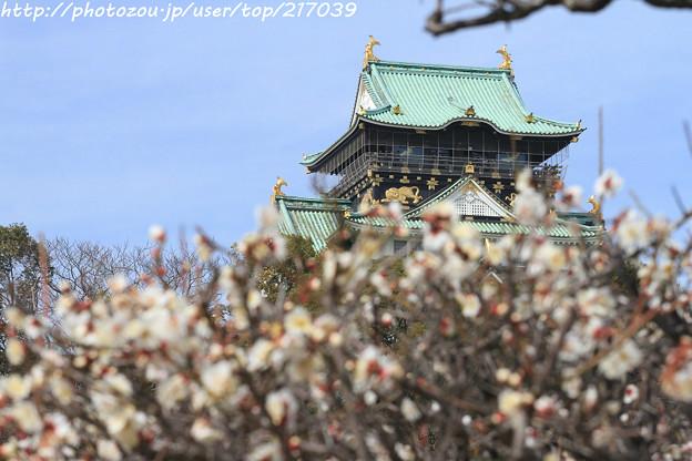 IMG_2049大阪城公園・梅林・大阪城天守閣と梅