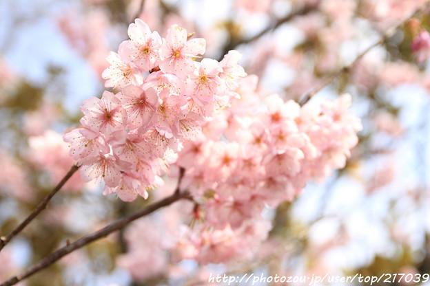 IMG_2532百万遍知恩寺・富士桜