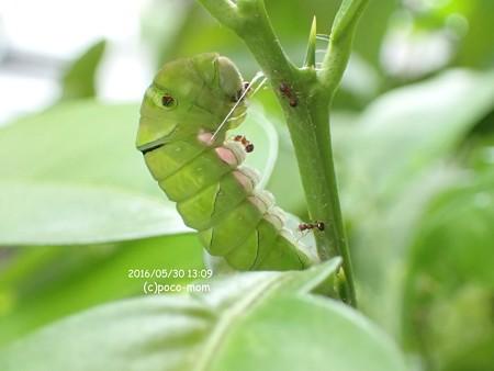 アゲハの前蛹中に蟻がたかっている