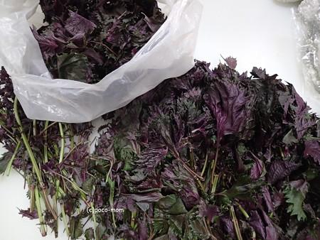 紫蘇ジュースを作る P7040420