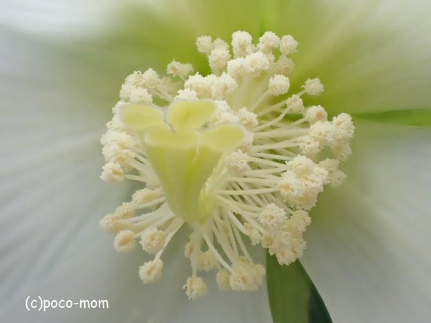 写真: olympus オリンパス STYLUS TG-4 Tough 顕微鏡モード 芙蓉 P7280625