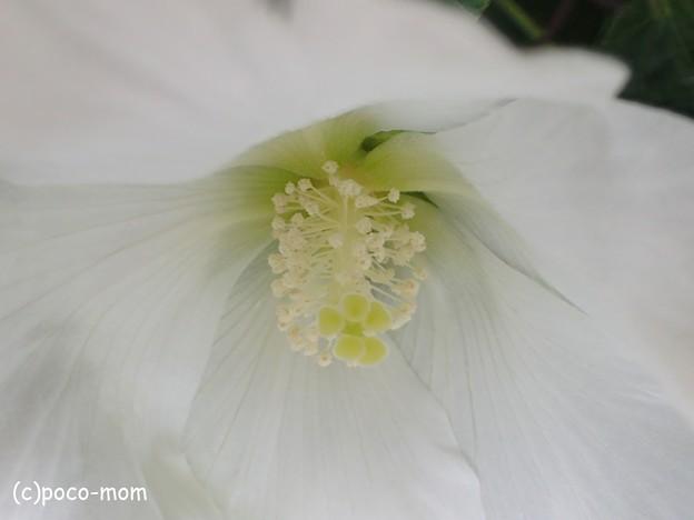 写真: olympus オリンパス STYLUS TG-4 Tough 顕微鏡モード 芙蓉 P7280627