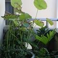 写真: 蓮の葉が枯れる P73006621