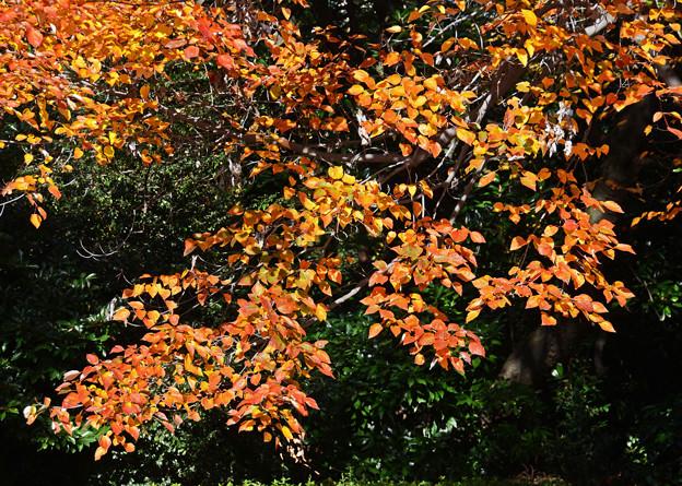 花の木の紅葉2