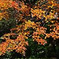 Photos: 花の木の紅葉2