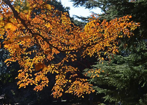 花の木の紅葉3