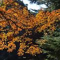 Photos: 花の木の紅葉3