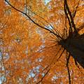 メタセコイアの紅葉3