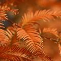 メタセコイアの紅葉4