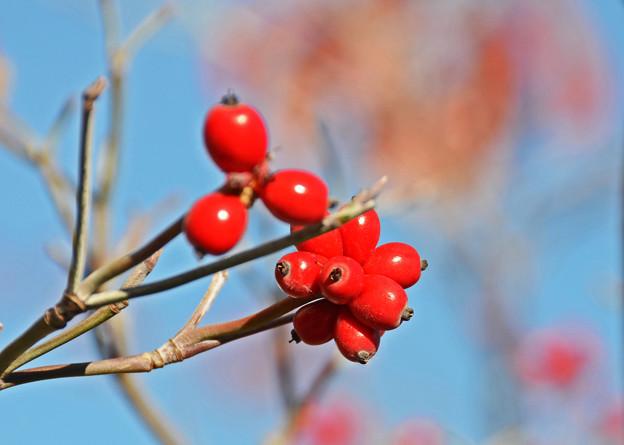 秋照に映える赤い実3