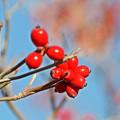 写真: 秋照に映える赤い実3